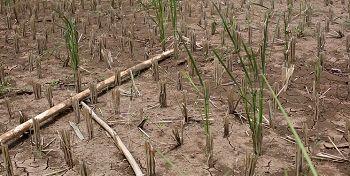 خشکسالی ۸۵۰ میلیارد تومان  به مزارع و باغات کشاورزی ایلام خسارت زد