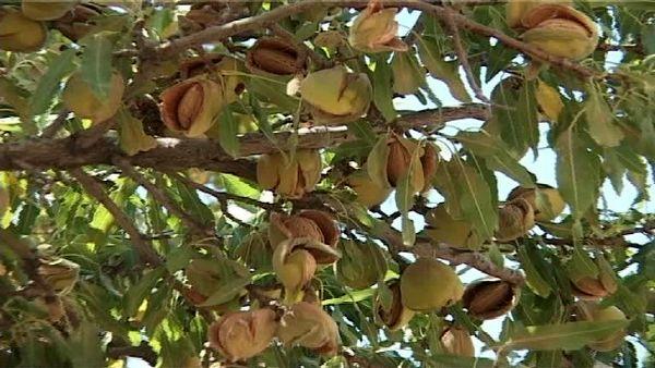 پیش بینی برداشت ۱۲ هزار تن بادام از باغهای بارور اصفهان