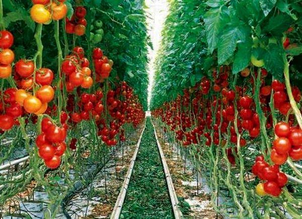 کاهش واسطهگری مستلزم تقویت تشکلهای کشاورزی در تیران و کرون است