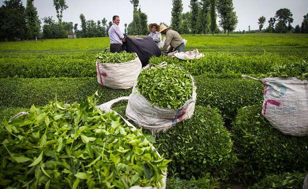 اولین جشنوار ملی چای 20 و 21 تیرماه برگزار می شود