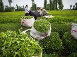 52 میلیارد تومان تسهیلات به چایکاران پرداخت شد