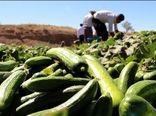 پیش بینی برداشت ۷۹هزار تن خیار سبز