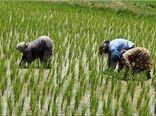 برداشت محصول برنج در شهرستان چرداول آغاز شد