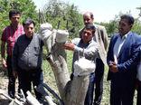 اجرای عملیات تعویض تاج درختان گردو در شهرستان جلفا