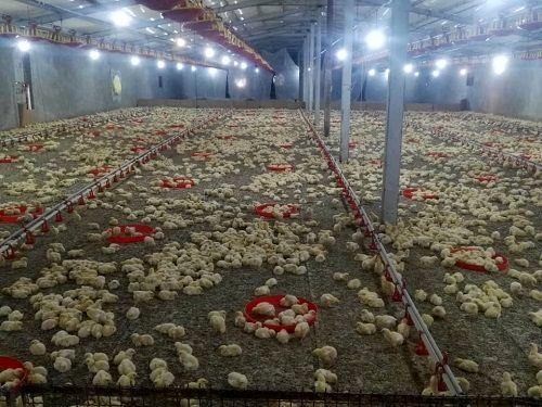 افزایش 20 درصدی جوجه ریزی در مرغداری های شیراز