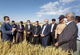 بازدید معاون وزیر جهاد کشاورزی در امور زراعت از پروژه امنیت غذایی ایران در شهرستان هشترود