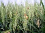 کشاورزان دارابی خطر پوره سن غلات را جدی بگیرند