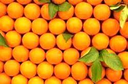 برداشت پرتقال نوبرانه در فسا