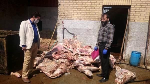 کشف و معدومسازی 1030 کیلوگرم گوشت گاوی فاقد شرایط مصرف در شهرستان ورامین
