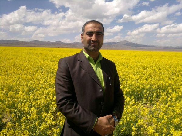 برداشت گیاه دارویی بابونه در شهرستان خوسف