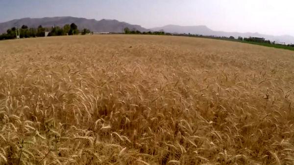 کاشت بیش از 130 هزار هکتار گندم و جو در اصفهان