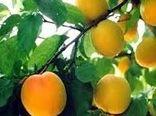 برداشت سالانه ۲۴ هزار تن زردآلو در لرستان