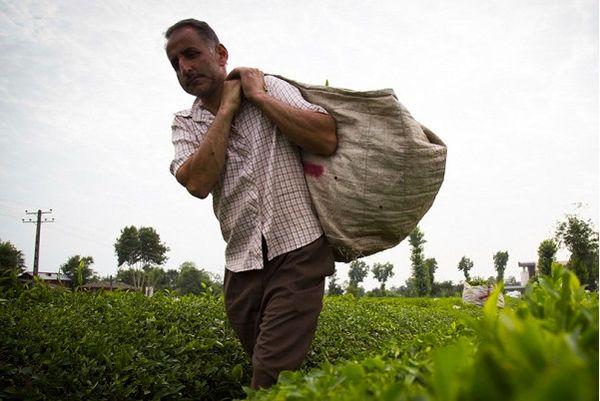 پرداخت تسهیلات ۲۰ میلیارد تومانی بدون بهره به چایکاران و کارخانجات