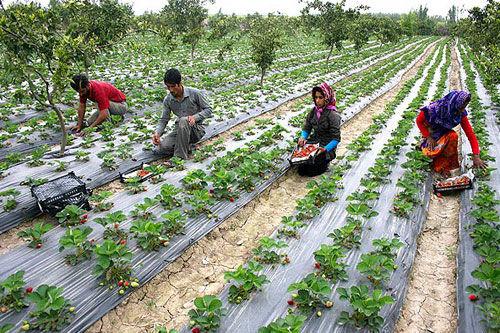 طرحهای کشاورزی تسهیلات بهین یاب دریافت میکنند