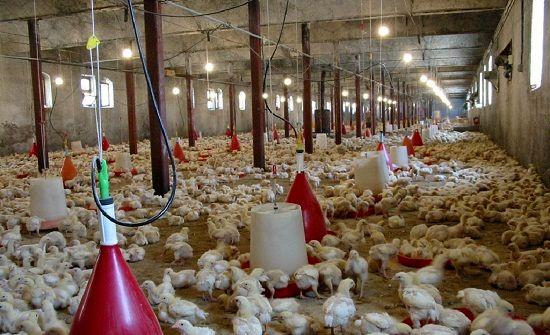 رشد 15 درصدی تولید گوشت مرغ در استان مرکزی