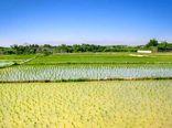 سطح زیرکشت برنج در استان اصفهان به ۵۳۰۰ هکتار رسیده است