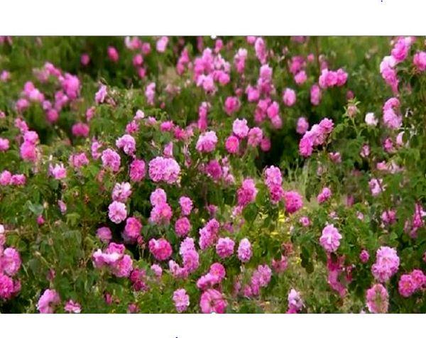 برداشت ۳۵۰ تن گل محمدی از گلستان های خراسان شمالی  در سال جاری
