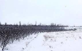 مبارزه زراعی زمستانه در سطح مزارع و باغات استان خراسان شمالی انجام می شود