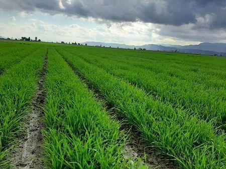 پایان کاشت گندم در لارستان