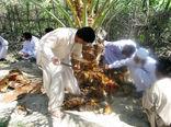 مبارزه باسوسک حنایی در 8 هزارهکتار از نخلستانهای سیستان و بلوچستان