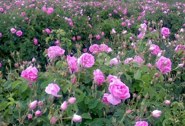 آغاز برداشت گل محمدی از ۱۲۵ هکتار ازباغات آران وبیدگل