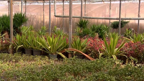 راه اندازی واحد تولید آناناس در کاشان