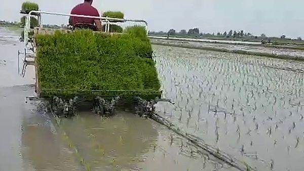 کشت مجدد 14 هزار هکتاری برنج در شالیزارهای بابل