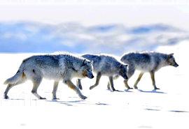 گرگهای شمالگان در آرکتیکبی کانادا