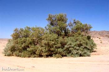 کاشت یک میلیون اصله درخت گز برای مقابله با بیابانزایی در فارس