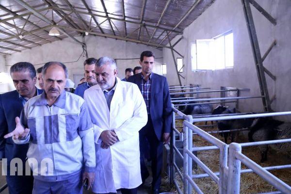 جلوگیری از خروج 15 میلیون دلار ارز با تأمین مواد ژنی اصلاح نژاد گوسفند بومی