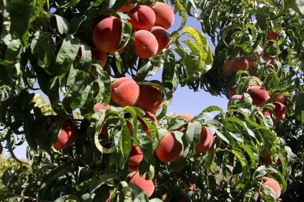 تولید هلو در چهارمحال و بختیاری  ۳۰ درصد کاهش یافت