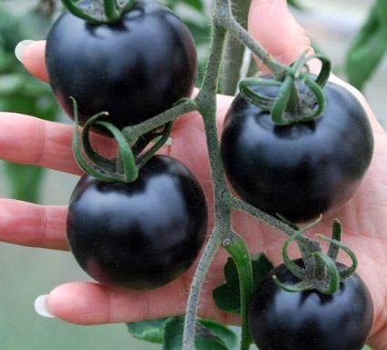 فاز جدید احداث گلخانه گوجه سیاه در رفسنجان آغاز شد