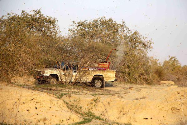 953 هکتار از مراتع سیستانوبلوچستان علیه ملخ صحرایی سمپاشی شد