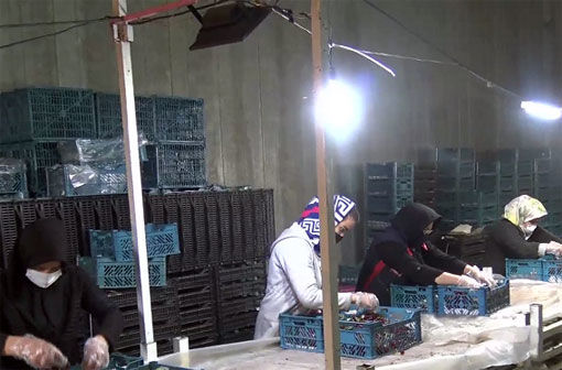 آغاز صادرات آلبالو از مرند به روسیه