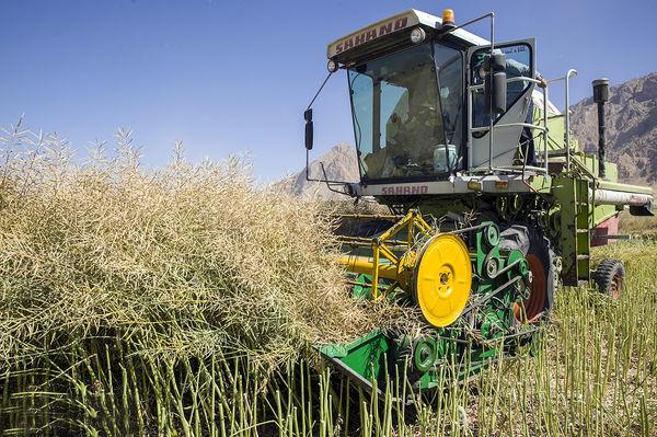 اعطای تسهیلات قرضالحسنه به کشاورزان برای کاشت کلزا