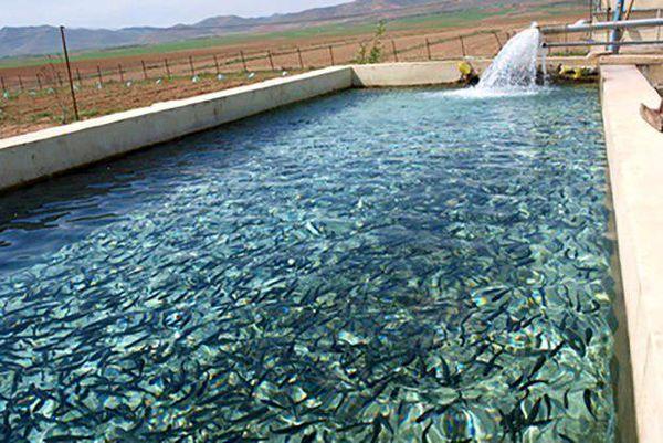 تولید سالانه ۶۰ هزار کیلوگرم ماهی در استخرهای دو منظوره ذخیره آب در ورامین