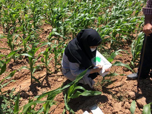طرح ردیابی آفت کرم برگخوار پاییزه در ۱۵۰ هکتار از مزارع ذرت شهرستان فارسان