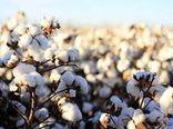پیشبینی برداشت ۱۶ هزار تن پنبه در خراسان شمالی