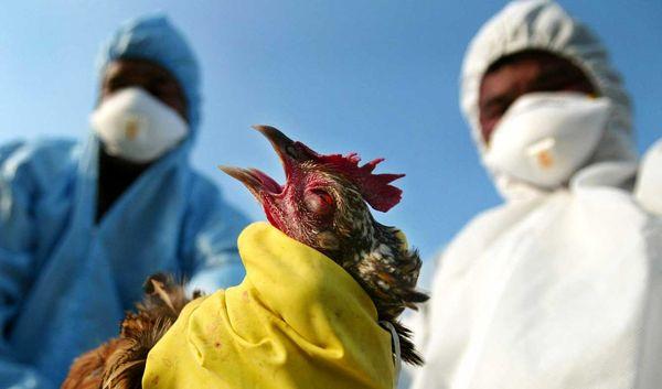 شروع واکسیناسیون برای پیشگیری از آنفلوانزای پرندگان