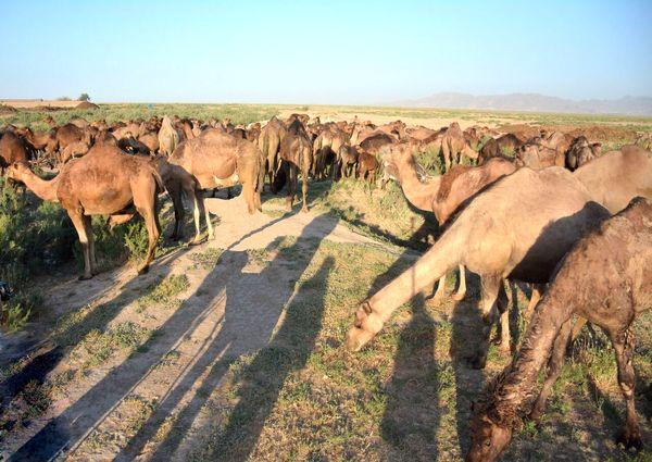 توسعه پرورش شتر در بام ایران