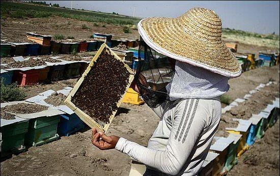 آغاز سرشماری  در زنبورستانهای مرودشت