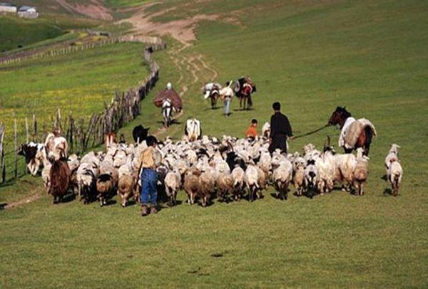 ۱۱۵ هزار راس دام سبک و سنگین در خراسان شمالی زیر پوشش بیمه قرار گرفت