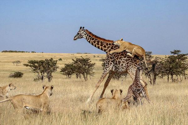 حمله شیرها به زرافه مادر و فرزندش