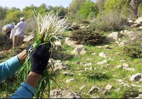 کشت گیاهان دارویی در استانها قطب بندی شد