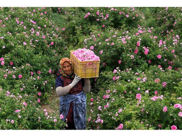 گلستان 280 هکتاری گل محمدی در ساری