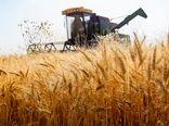 پیشبینی تولید 50 هزار تن گندم در کازرون