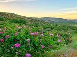 بی رقیبی کیفیت گلاب نطنز  در شرایط آب و هوایی مناسب
