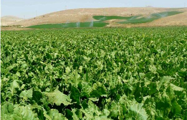پیشبینی کشت 15 هزار هکتار چغندرقند پاییزه در خوزستان