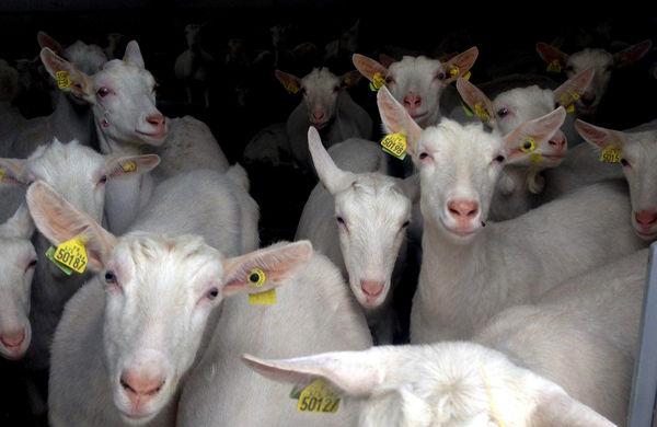 با تولید 704 تن شیر، دامها اصلاح نژاد میشوند