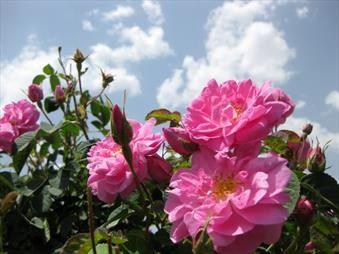 پیشبینی برداشت ۳۶۵ تن گل محمدی